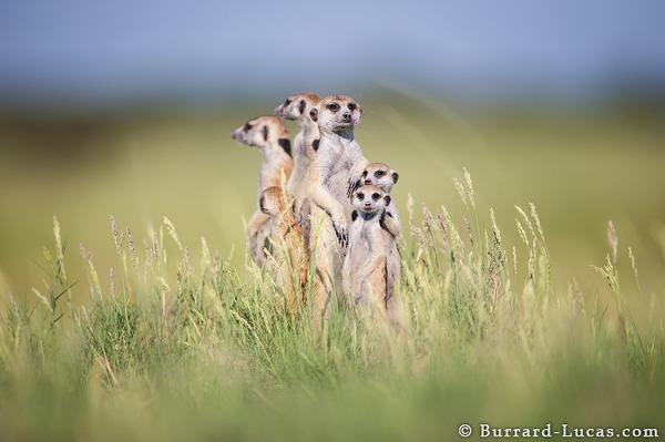 Boldog szurikáta család